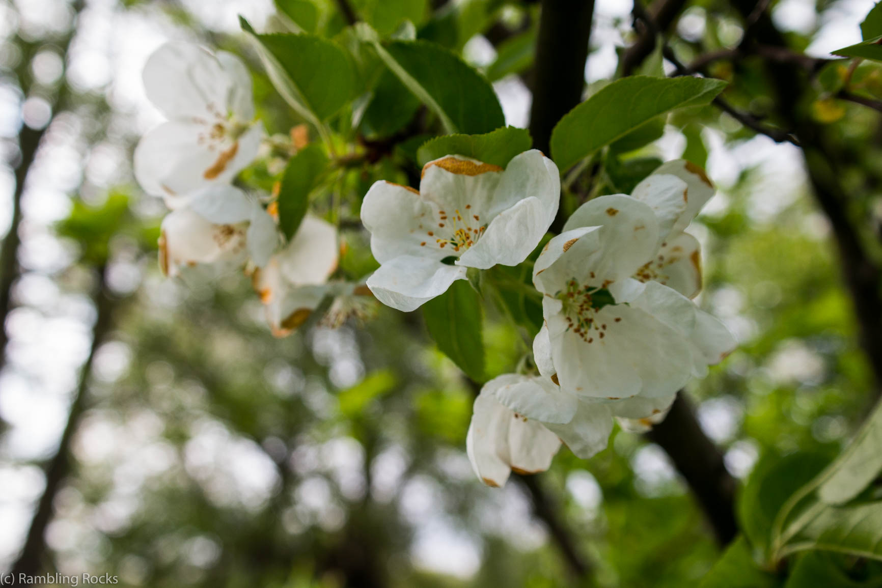 Apfelblüte Vollfrühling