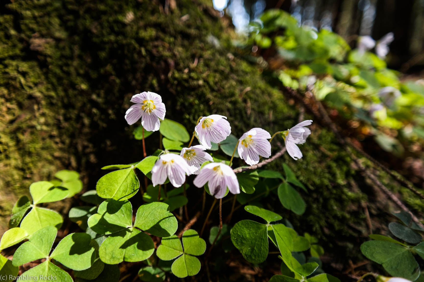 Vierblättriger Waldsauerklee mit weißen Blüten