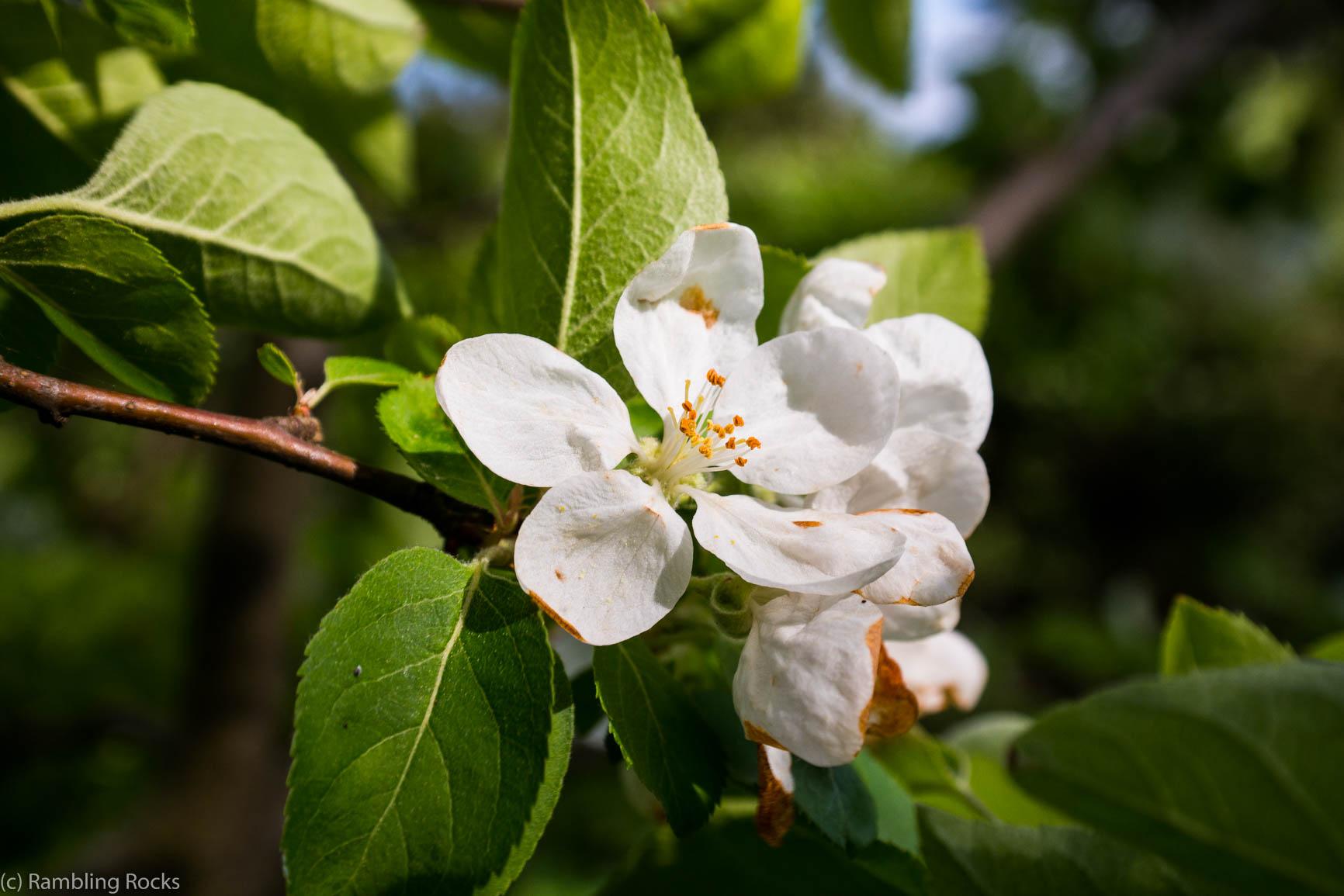 Apfelblüte Phänologie