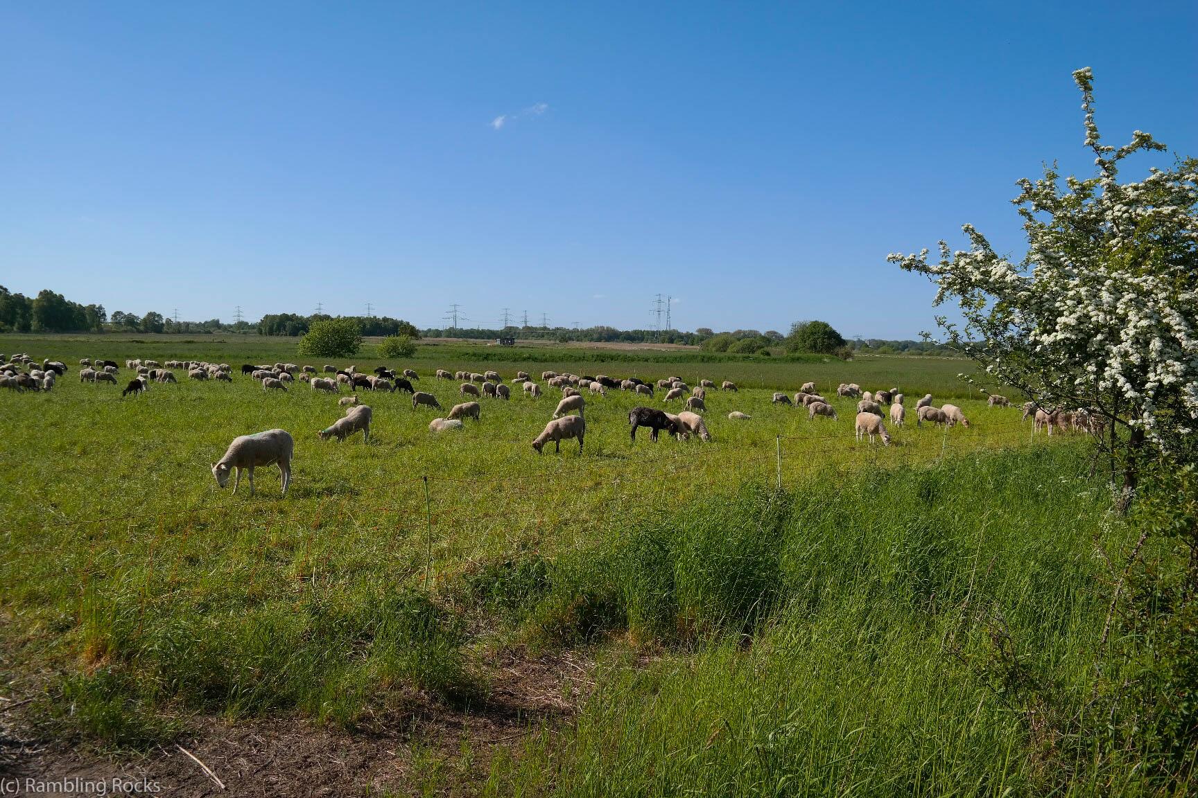 Siebendörfer Moor Schafe